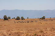Tarangire National Park is a national park in Tanzania's Manyara Region. The name of the park originates from the Tarangire River that crosses the park. The Tarangire River is the primary source of fresh water for wild animals in the Tarangire Ecosystem during the annual dry season. The Tarangire Ecosystem is defined by the long-distance migration of wildebeest and zebras. During the dry season thousands of animals concentrate in Tarangire National Park from the surrounding wet-season dispersal and calving areas. It covers an area of approximately 2,850 square kilometers (1,100 square miles.) The landscape is composed of granitic ridges, river valley, and swamps. Vegetation is a mix of Acacia woodland, Combretum woodland, seasonally flooded grassland, and baobab trees.
