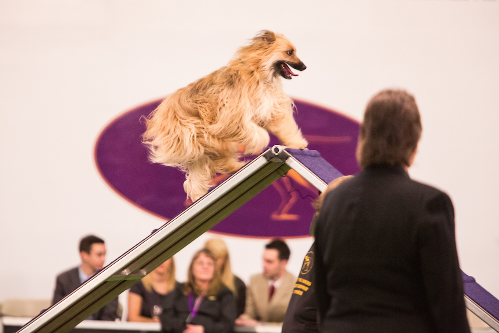 New York, NY - 8 February 2014. Dash, A Pyrenean shepherd, climbing the A-frame as the judge looks on. Dash finished first in the 16-inch class.