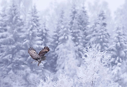 Great grey owl in snow. <br /> <br /> BIO: Jari Peltomäki is a professional wildlife photographer and founder & chairman of the board of Finnature Ltd, Finland's leading wildlife tour operator. He lives in Oulu, Finland. Bird photography is his passion and his favourite subjects to photograph are owls. <br /> <br /> His photography work has been used worldwide and he has co-published several books of birds and photography, including the highly read Handbook of Bird Photography (together with Markus Varesvuo and Bence Mate) which has been published in Finnish, German, French, English and Chinese! His photographs has been regularly awarded in international competitions: including Wildlife Photographer of the Year several times. <br /> <br /> WEBSITE: jaripeltomaki.com<br /> INSTAGRAM: @jari_peltomaki