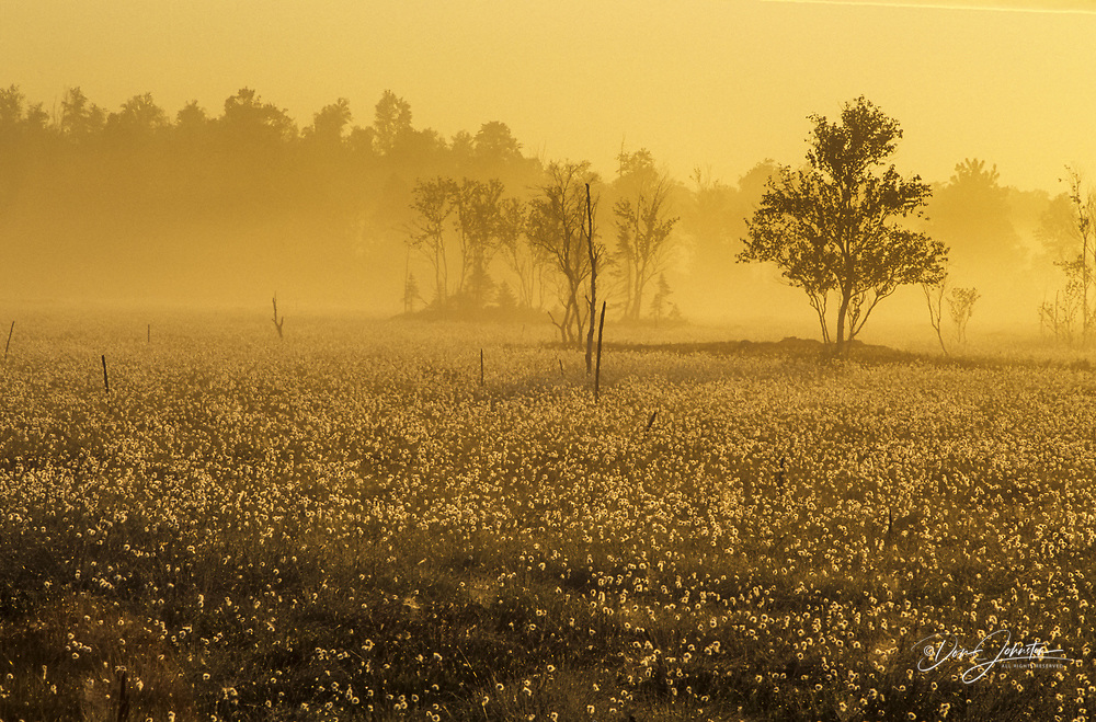 Morning fog in wetland with cottongrass sedges, Greater Sudbury, Ontario, Canada