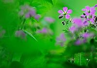 (Geranium sylvaticum), commonly called Wood Cranesbill or (in North America) Woodland Geranium