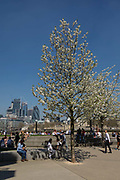 Blossom trees in full bloom on the South Bank seen in front of City of London skyscrapers during hot and sunny weather on April 20, 2018 in London, England. Yesterday the United Kingdom experienced the hottest day in April since 1949, with temperatures reaching 27.9C 82.2F in London.