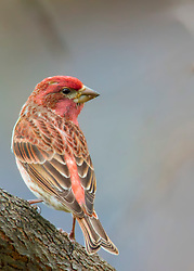 A Male Purple Finch On A Tree Branch From Behind