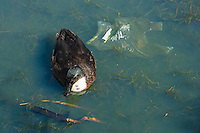 duck on a polluted pond