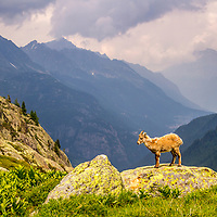 Ibex Lamb, French Alps