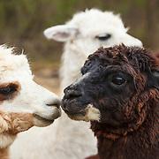 20120414 Llamas and Alpacas