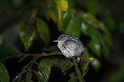 Guianan Streaked-Antwren (Myrmotherula surinamensis) <br /> Mapari<br /> Rupununi<br /> GUYANA<br /> South America<br /> RANGE: Bolivia, Brazil, Colombia, Ecuador, Guianas, Panama, Peru, Venezuela