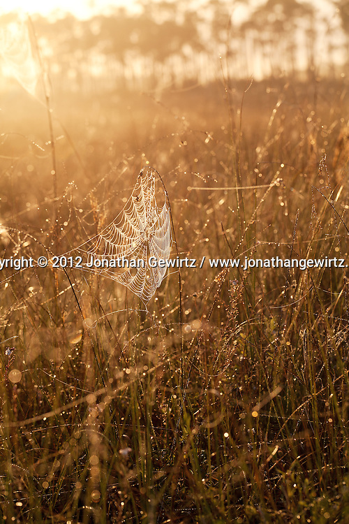 The rising sun illuminates a spider web covered in dew in the sawgrass savannah of Everglades National Park, Florida. WATERMARKS WILL NOT APPEAR ON PRINTS OR LICENSED IMAGES.