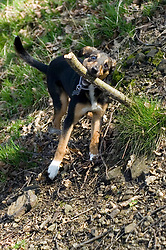 Small Black and Tan Mongrel puppy struggles with oversized stick while playing in the woods <br /> <br /> The Shroggs Wallace <br /> 20th March 2009 © Paul David Drabble