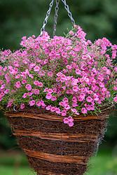 Diascia Coral Belle syn. 'Hecbel' AGM in a hanging basket