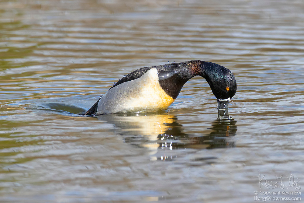 A ring-necked duck (Aythya collaris) dives for food in a pond in Magnuson Park, Seattle, Washington.
