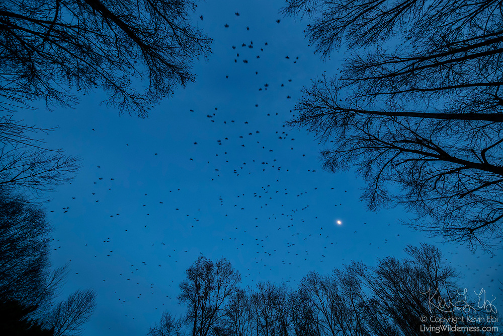 Hundreds of American crows (Corvus brachyrhynchos) in a large flock, known as a murder, fly over bare winter trees along the Sammamish River in Bothell, Washington, on a dark, cloudy day. An estimated 10,000 crows roost in a small area in the city each night.