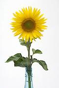 sunflower in full bloom in bottle