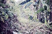 Contour drain on steep hillside to prevent run off causing soil erosion, banana and cocoa farming, rural Trinidad c 1962
