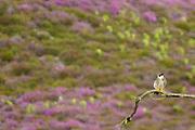 Hobby perched above heathland bog. Dorset, UK.