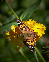 Painted Lady butterfly on a yellow marigold flower. Autumn Backyard Nature in New Jersey. Image taken with a Fuji X-T2 camera and 100-400 mm OIS telephoto zoom lens.