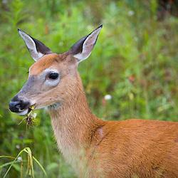 Whitetail deer (doe), Odocoileus virginianus, in Pittsburg, New Hampshire. Connecticut River Headwaters region.  Feeding.