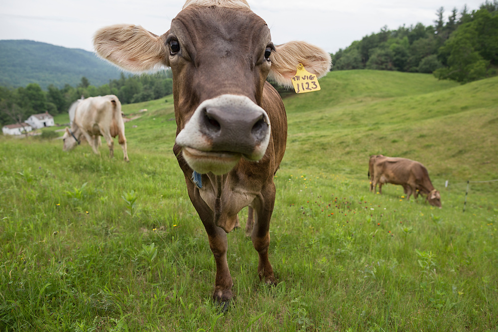 Herd of Brown Swiss cows grazing one looking at hte camera