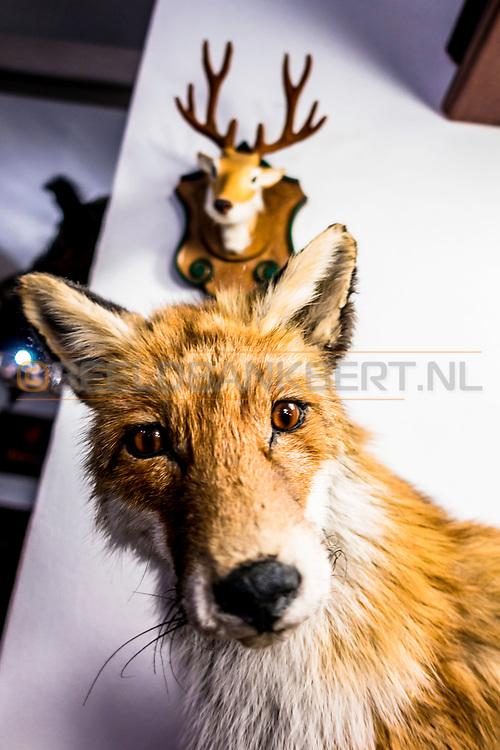 18-09-2015: Restaurace Stara Myslivna Konopiste in Benesov, Tsjechië.<br /> Foto: Opgezette vos in het wildrestaurant