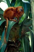 Like all four species of Lion Tamarins the Golden Lion Tamarin (Leontopithecus rosalia) prefers lowland rainforests which have an abundance of bromeliad epiphytes. | Wie alle vier Löwenäffchen-Arten bevorzugt auch das Goldene Löwenäffchen (Leontopithecus rosalia) Regenwald-Gebiete, in denen Aufsitzerpflanzen aus der Gruppe der Bromelien besonders häufig vorkommen.