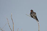 Red-footed falcon, Falco vespertinus, Danube delta rewilding area, Romania