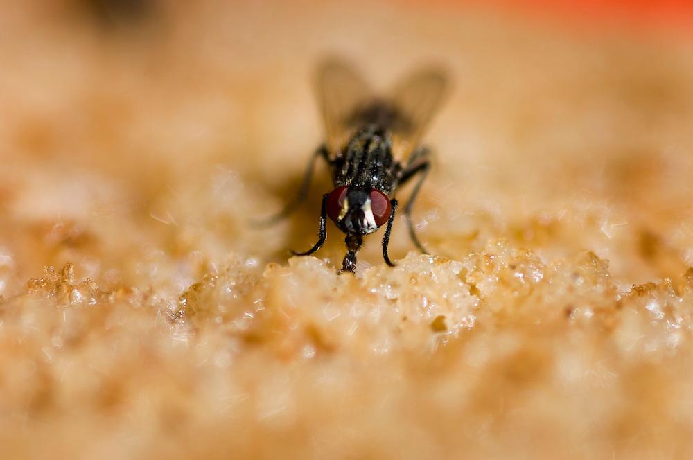 Frankrijk, 29 juli 2006Vlieg   eet restjes voedsel weg, stuk brood. Door een slurfje zuigt de vlieg voedsel naar binnen.Foto: (c) Michiel Wijnbergh