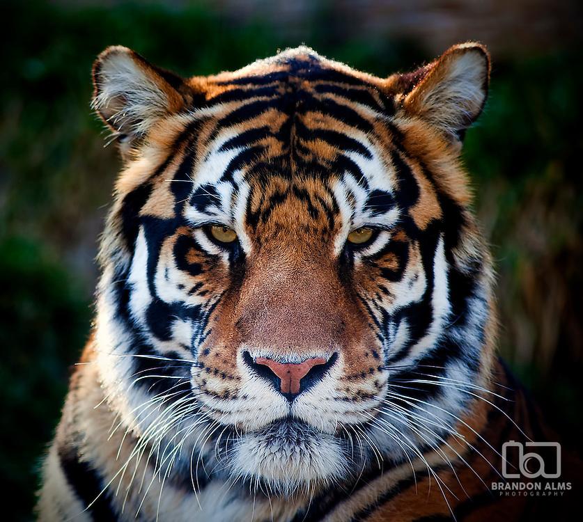 A close up shot of a Bengal Tiger (Panthera tigris tigris).