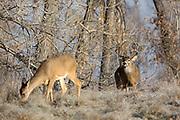 A mature whitetail buck follows a doe across a frosty field during the autumn rut.