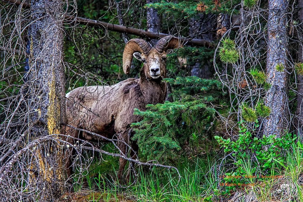 Regal: A leader of a herd of Bighorn Sheep regally stands guard, Banff National Park, Alberta Canada.