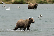 A brown bear yearling cub learns to fish for salmon at the McNeil River State Game Sanctuary on the Kenai Peninsula, Alaska. The remote site is accessed only with a special permit and is the world's largest seasonal population of brown bears in their natural environment.