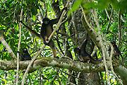 White-Bellied Spider Monkey (Ateles belzebuth)<br /> Yasuni National Park, Amazon Rainforest<br /> ECUADOR. South America<br /> HABITAT & RANGE: Tropical forests of Brazil, Columbia, Ecuador, Peru and Venezuela