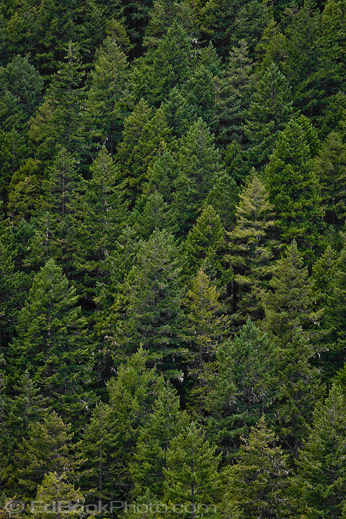 Douglas Fir forest near Walker Pass along US-101 in the Quilcene River Valley, Olympic National Forest, Washington, USA