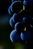 sunlit Cabernet Sauvignon grapes just before harvest. Howell Mountain, Napa Valley.
