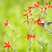 Ruby throated hummingbird nectaring on royal catchfly in midwestern tallgrass prairie setting, north central Ohio. Photographed in sunlight with no flash, allowing natural wing movement to appear. Royal catchfly, a rare plant, is a hummingbird favorite. Published in portfolio feature, Wild Planet Photo Magazine, Issue 47/Sept. 2017.