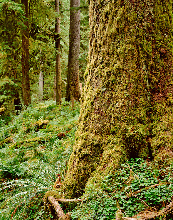Old-growth Sitka Spruce in the Hoh Rain Forest, Olympic National Park, Washington