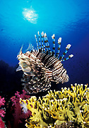 Lionfish (Pterois volitans), side on view over fire coral, Ras Mohammed