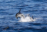 Atlantic White-sided Dolphin off Provincetown, MA