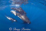 long-finned pilot whales, Globicephala melas, adults with juvenile and small calf, Straits of Gibraltar ( North Atlantic )