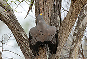 African Harrier Hawk (Polyboroides typus) trying to rob a starling's nest in Kruger NP, South Africa.