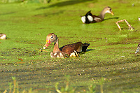 Black-bellied Whistling-Duck (Dendrocygna autumnalis) with brood of ducklings,  Green Cay Nature Centre, Delray Beach, Florida, USA   Photo: Peter Llewellyn