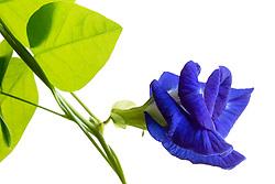 Blue Butterfly Pea, clitoria ternatea#9