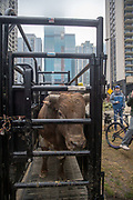 Bull named High Test is weighed in during a presentation with 2020 Professional Bull Riding (PBR) Tour and Special Olympics Illinois (SOILL) in Chicago, Friday, Jan. 10, 2020, in Chicago in Maggie Daley Park. (Max Siker/Image of Sport via AP)