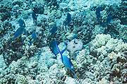 a hunting school of blue goatfish or yellowsaddle goatfish, is joined by a flowery flounder, peacock flounder, or pak'i, Bothus mancus, hoping to snap up prey flushed out by the goatfish; Kohanaiki, North Kona, Hawaii ( the Big Island ), USA ( Central Pacific Ocean )