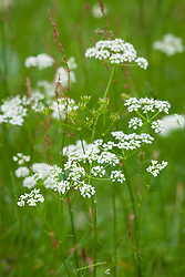 Pignut with sorrel. Conopodium majus