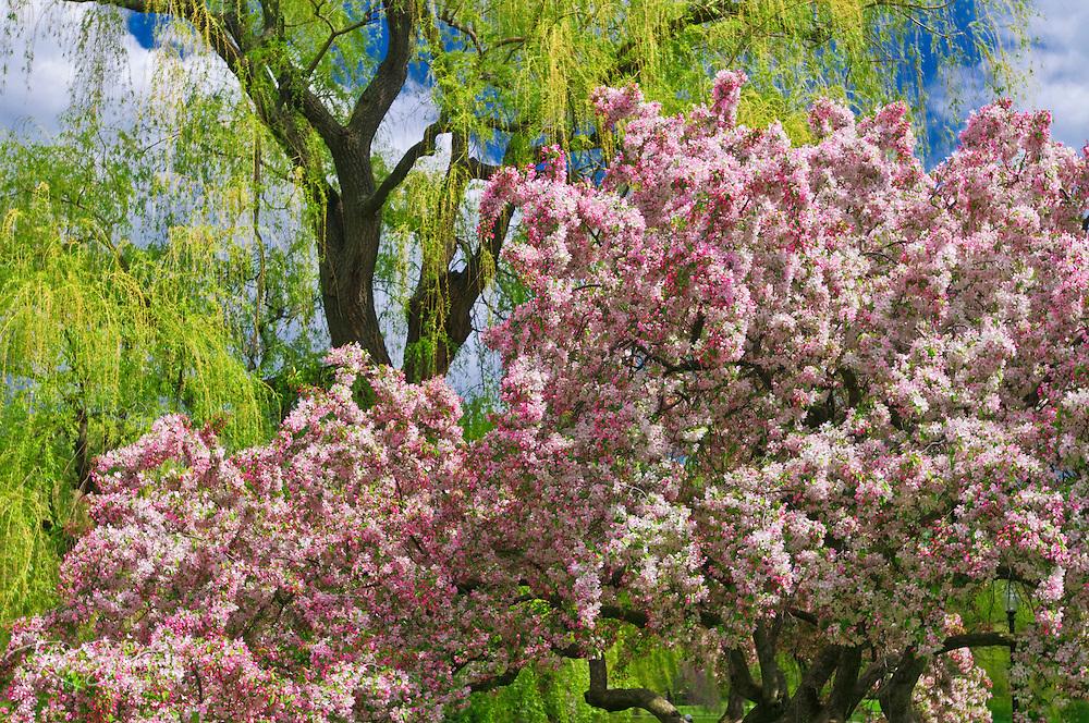 Spring blossoms at the Public Garden, Boston, Massachusetts