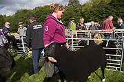 Zwartbles (Dutch milk sheep) taking part in the sheep competition. 'Pateley Show', as the Nidderdale Show is affectionately known, is a traditional Dales agricultural show for the finest livestock, produce and crafts in the Yorkshire Dales. Held in the picturesque surrounds of Bewerley Park, Pateley Bridge, is one of the county's foremost shows. It regularly attracts crowds of 17,000 and traditionally marks the end of the agricultural show season.