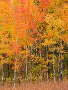 Autumn colors of Trembling Aspen, Populus tremuloides, Whitefish Mountains, Flathead National Forest, Montana.
