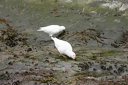 Snowy Sheathbill At Hurcules Bay