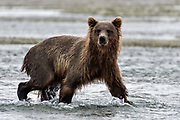 A grizzly bear sub-adult looks for chum salmon in the lower lagoon at the McNeil River State Game Sanctuary on the Kenai Peninsula, Alaska. The remote site is accessed only with a special permit and is the world's largest seasonal population of brown bears.