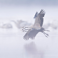 Flying cranes in the fog
